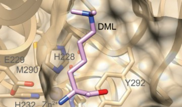 The Overall lab characterizes a new digestion enzyme for proteomics