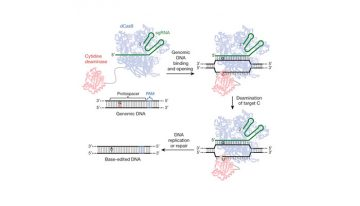 Figure 1: Gene editing without double stranded breaks. Base editing system using a Cas9-cytidine deaminase fusion protein mediates guide-RNA directed C  U conversion in the target genomic sequence (from AC Komor et al. Nature. 2016, 533, 420 doi:10.1038/nature17946)