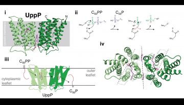 Lipid carrier synthesis and recycling. (i) Structure of UppP (green) in complex with structural lipid and substrate mimic, monoolein (pink) (E. coli, 6CB2). (ii) Proposed reaction mechanism for UppP mediated dephosphorylation of C55PP. (iii) Schematic representation of proposed UppP phosphatase-couple lipid flippase activity. (iv) Twofold symmetry axis of the UppP dimer (black) and twofold pseudosymmetry axes of each monomer (grey).
