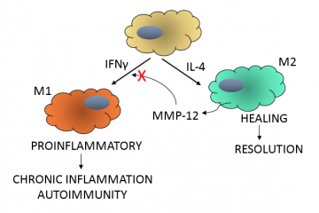 Proteases can be a turn-on, or a turn-off. Or… A Protease-mediated Switch Controls the Transition from Proinflammatory (M1) to Repair (M2) Macrophages