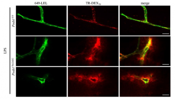 Figure 1: Vasculature of mice imaged using fluorescence microscopy. Wild-type (PodxlF/F) and Podocalyxin knockout (PodxlTie2DEC) mice were treated with lipopolysaccharide (LPS). Vasculature was imaged using 649-LEL and permeability was assessed using Texas red (TR) labelled 70-kD dextran (TR-DEX70). The authors describe the permeability as 'dextran clouds' in the podocalyxin knockout mice, signifying leakage of dextran outside of the blood vessel. Modified from Figure 4B from Cait et al. (2019).