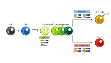 Challenging the dogma of innate lymphoid cell (ILC) development